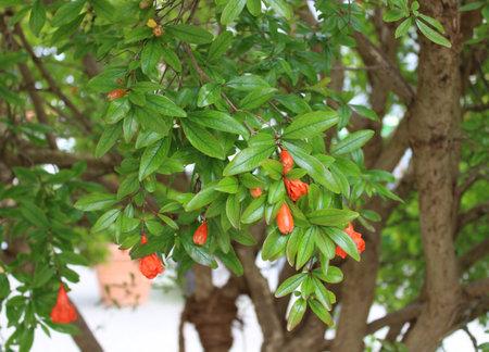 blossoming pomegranate in the garden Archivio Fotografico