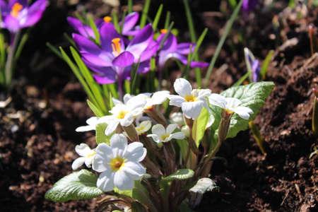 crocus and primroses in the garden Archivio Fotografico