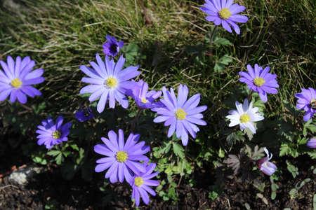 blue anemone in the spring Archivio Fotografico