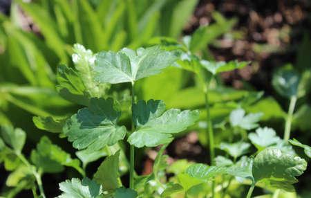 Flat parsley in the garden