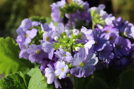 blue primrose in the garden Archivio Fotografico