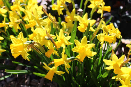 beautiful narcissus flowers in the garden Archivio Fotografico