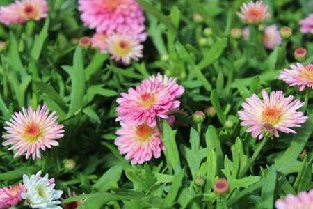 boston daisy in the garden Archivio Fotografico