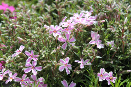 purple phlox in the garden