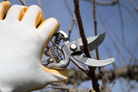 a hand with gloves and garden shears cutting water arms on a tree Archivio Fotografico
