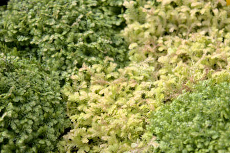 different kinds of spikemoss in the garden Archivio Fotografico