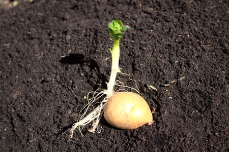 a potato with roots and leaves Archivio Fotografico