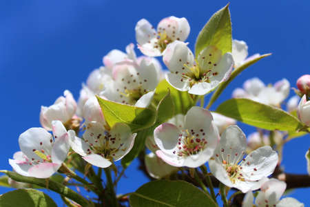 wonderful apple tree blossoms in front of the blue sky