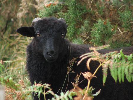 kerry: Black Sheep Kerry Ireland Stock Photo