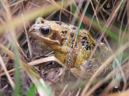 kerry: Frog Kerry Ireland