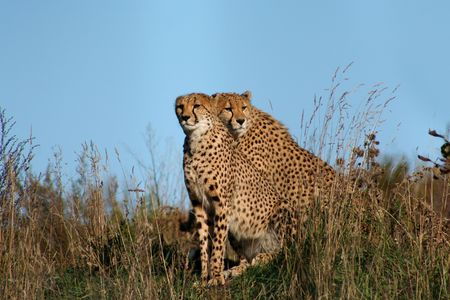 Two cheetahs sitting together in the long dry grass