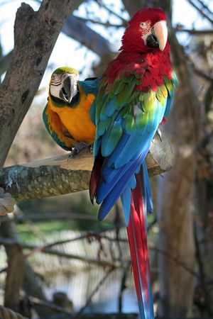 Two colorful parrots sitting in a tree Stock Photo
