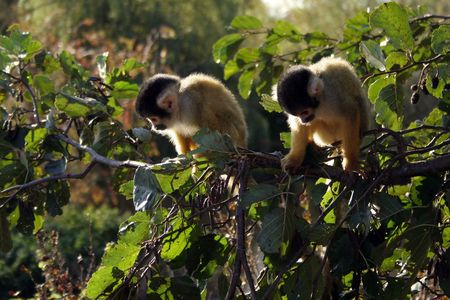 Two squirrel monkeys looking down photo