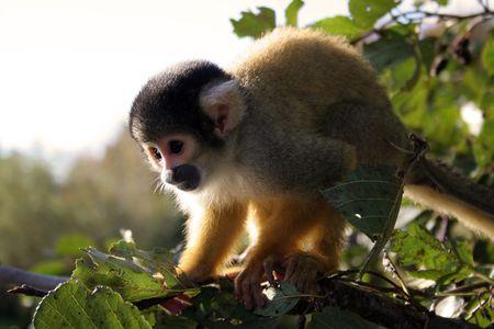 A squirrel monkey getting ready to jump