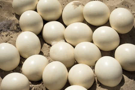 A bunch of ostrich eggs lying in the sand photo