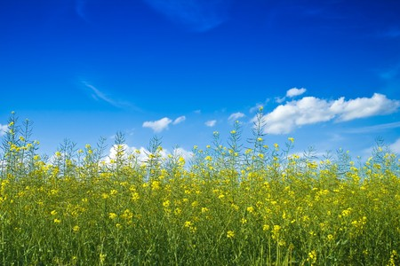 A beautiful yellow rape field under the blue sky Stock Photo