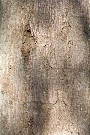Close up of the bark of an oak tree