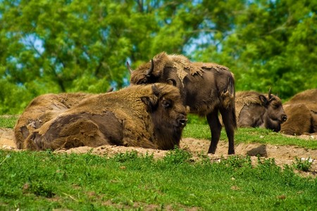 A herd of buffaloes relaxing in the sunshine Stock Photo