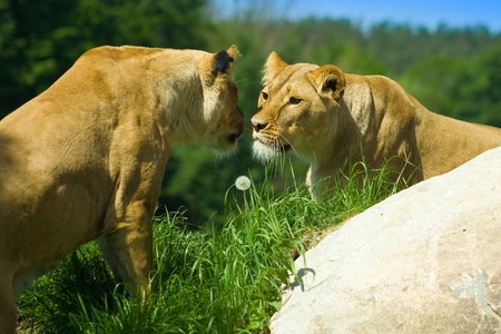 Two lions meet on a hill - Love or hate? Stock Photo