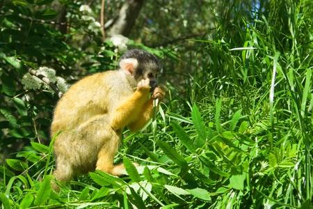 An orange squirrel monkey chewing on a leaf