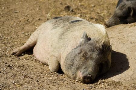 A little pig has fallen asleep in the sunshine