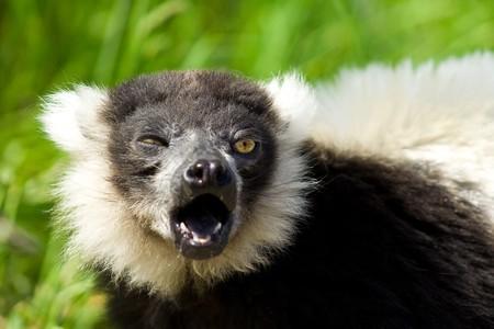 A black and white Ruffed lemur sneezing