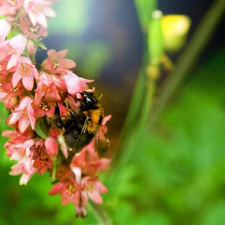 A fat little bumblebee sucking nektar from a flower