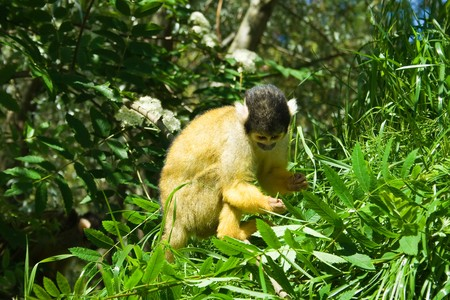 A squirrel monkey deciding whether to eat a leaf or not Stock Photo