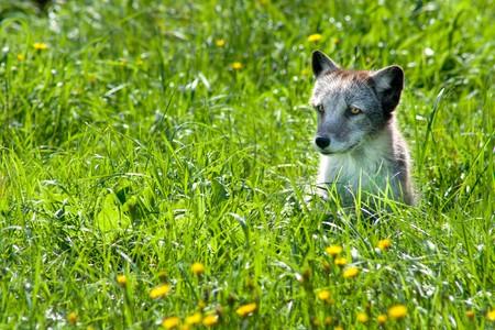 A cute little arctic fox (Alopex lagopus) in the grass.