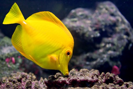 A Yellow Tang (Zebrasoma flavescens) is searching for food between rocks.