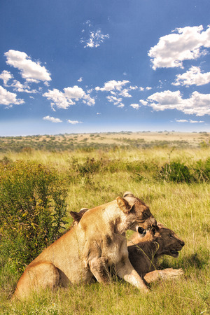 savana: Lions in the savana