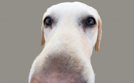 Labrador nose photo
