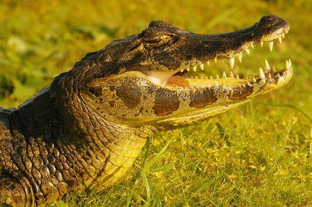 sol: un cocodrilo tomando sol