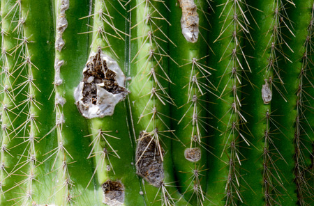 saguaro cactus up close Stock Photo