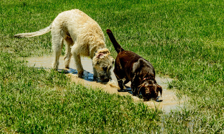 irish wolfhound and chocolate lab in a mud puddle Stok Fotoğraf