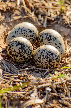 outoors: ground nest with eggs Stock Photo