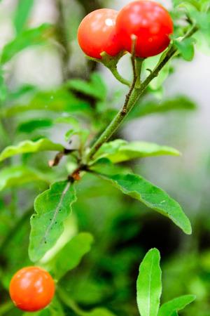 tomotoes ぶどうの木に登熟