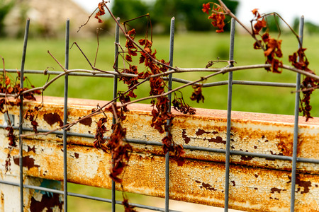 dying vine on a wire fence