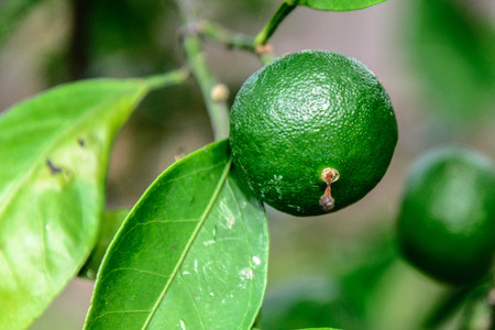green oranges ripening on the tree branch