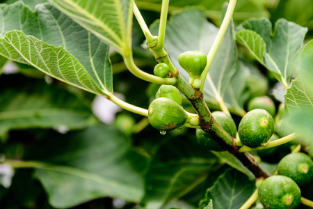 figs ripening on the vine Stock Photo