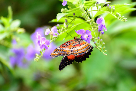 lacewing: orange, black and white Common Lacewing butterfly on a purple flower Stock Photo
