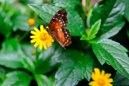 nymphalidae: a Red Peacock, Amathea butterfly on a yellow flower Stock Photo
