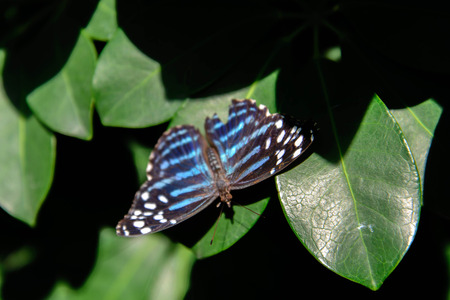 nymphalidae: a Metallic Blue Wave butterfly on a leaf