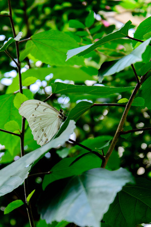 nymphalidae: white with yellow spots Grey Pansy butterfly in nature Stock Photo