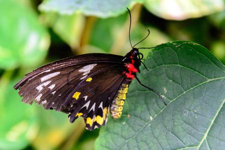 빨간색과 노란색 바디 페르시 나비