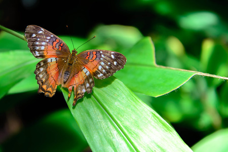 nymphalidae: a Red Peacock, Amathea butterfly on a leaf