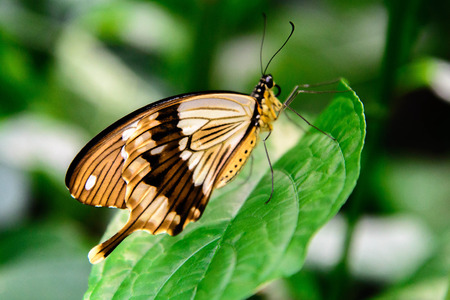 papilionidae: brown and white swallowtail butterfly on a plant Stock Photo