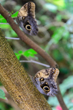 tawny: a Tawny Owl Butterfly in nature Stock Photo