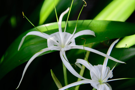spider lily: White Spider Lily butterfly attracting plant