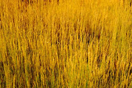 natural golden grass field
